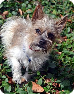 Terrier (Unknown Type, Small)/Shih Tzu Mix Dog for adoption in Bridgeton, Missouri - Tito