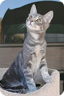 Domestic Shorthair Kitten for adoption in Palmdale, California - Phoebe