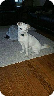 Labrador Retriever Mix Puppy for adoption in Newark, Delaware - Charlie (Courtesy Post) *$50 adoption fee*