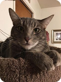 Domestic Shorthair Cat for adoption in Parlier, California - Juice