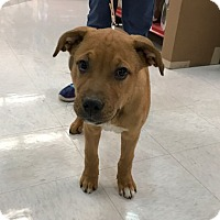 Adopt A Pet :: Beso - Evergreen, CO