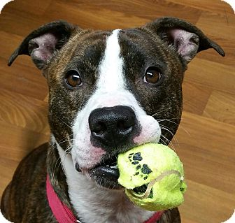 Pit Bull Terrier Mix Dog for adoption in Lisbon, Ohio - Petey