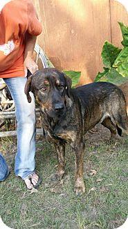 Plott Hound Mix Dog for adoption in Rockville, Maryland - Sam