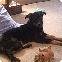 Adopt A Pet :: Rozzy - Hainesville, IL