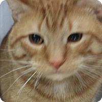 Adopt A Pet :: Scotch - Sauk Rapids, MN
