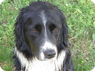 English Springer Spaniel Qld Josie | Adopted Dog | ...