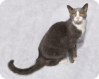 Domestic Shorthair Cat for adoption in Mt. Prospect, Illinois - Alllie