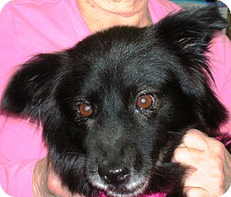Chow Chow/Border Collie Mix Dog for adoption in Plain City, Ohio - Alozay