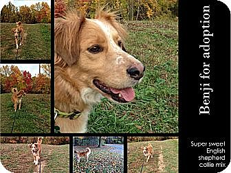 English Shepherd/Collie Mix Dog for adoption in Alexandria, Virginia - Benji