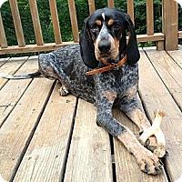Adopt A Pet :: *Jennie Lynn - PENDING - Westport, CT