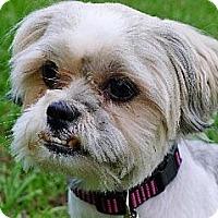 Adopt A Pet :: Itsy Bitsy the Shih Tzu Girl - Ocala, FL