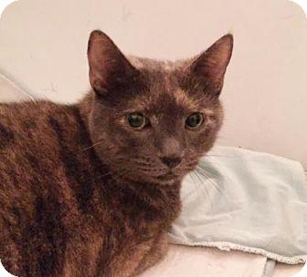 Domestic Shorthair Cat for adoption in New York, New York - Marguerite