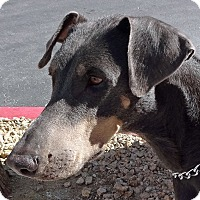 Adopt A Pet :: Violet - Las Vegas, NV