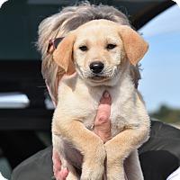 Adopt A Pet :: Winston - Charlemont, MA