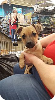 Chihuahua Mix Puppy for adoption in Fresno, California - Spunky