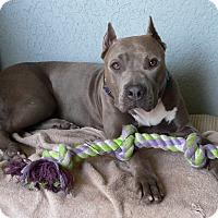Adopt A Pet :: Maya - Ocean Ridge, FL