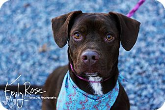 Labrador Retriever Mix Dog for adoption in Kaufman, Texas - Buzz