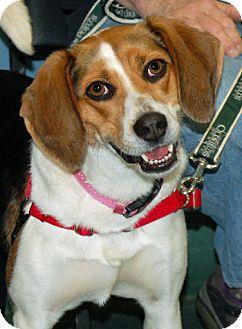 Beagle Dog for adoption in Lutherville, Maryland - Sophie