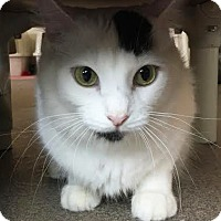 Domestic Shorthair Cat for adoption in Boca Raton, Florida - Sheila
