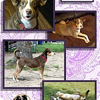 Catahoula Leopard Dog Dog for adoption in Malakoff, Texas - Penny