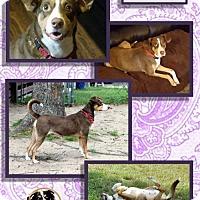 Adopt A Pet :: Penny - Malakoff, TX