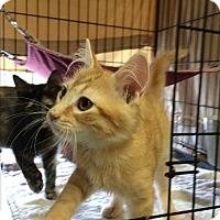 Adopt A Pet :: Sage - Lunenburg, MA