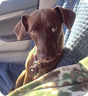 Miniature Pinscher/Italian Greyhound Mix Dog for adoption in Tucson, Arizona - Lorenzo