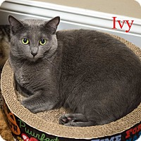 Domestic Shorthair Cat for adoption in Baltimore, Maryland - Ivy