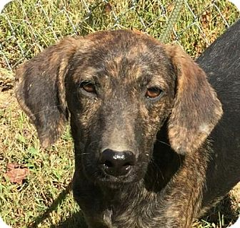 Mountain Cur Mix Puppy for adoption in Washington, D.C. - Theo