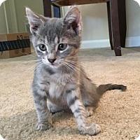 Adopt A Pet :: Catpurrnicus - Austin, TX