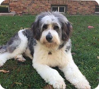 English Sheepdog Mix Dog for adoption in Winnipeg, Manitoba - Rufus