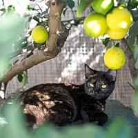 American Shorthair Cat for adoption in Santa Monica, California - Annie