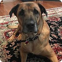 Adopt A Pet :: Maddie - West Springfield, MA