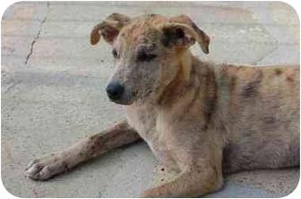 Labrador Retriever Mix Puppy for adoption in Chula Vista, California - Pebbles