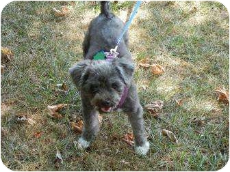 Poodle (Miniature) Mix Dog for adoption in Seymour, Connecticut - Ubu