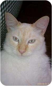 Siamese Cat for adoption in Morgan Hill, California - Fabio