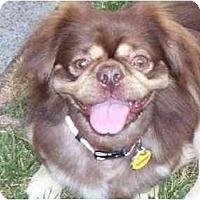 Adopt A Pet :: Corkey - Virginia Beach, VA