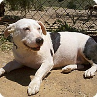 Adopt A Pet :: Potato(BRN) - Porter Ranch, CA