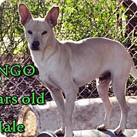 Jindo/Shepherd (Unknown Type) Mix Dog for adoption in Boaz, Alabama - Dingo