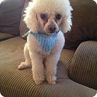 Adopt A Pet :: Lambchop - Phoenix, AZ