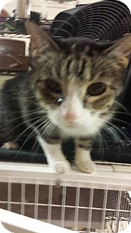 American Shorthair Cat for adoption in Chicago, Illinois - Gerty