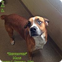 Adopt A Pet :: 1-11 Beethoven - Triadelphia, WV