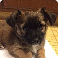Adopt A Pet :: Prince Phillip - Princess Pup - Encino, CA