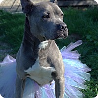 American Staffordshire Terrier Mix Dog for adoption in Los Angeles, California - Jemma