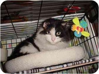 Domestic Mediumhair Cat for adoption in cincinnati, Ohio - Majestic Winston