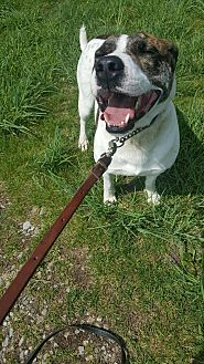 Hound (Unknown Type)/American Pit Bull Terrier Mix Dog for adoption in South Park, Pennsylvania - Noble