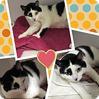 Domestic Shorthair Cat for adoption in Goshen, New York - Pixel