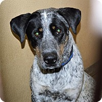 Adopt A Pet :: Aust. Cattle Dog male X - San Jacinto, CA