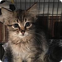 Adopt A Pet :: Laszlo - Mount Laurel, NJ