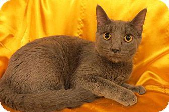 Russian Blue Cat for adoption in St. Louis, Missouri - Jazzy